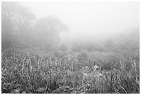 Meadow with wildflowers in fog, Little Hogback Overlook. Shenandoah National Park ( black and white)