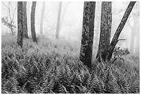Ferns, lichen-covered trees, and fog. Shenandoah National Park ( black and white)