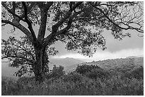 Tree and approaching storm in the spring. Shenandoah National Park ( black and white)