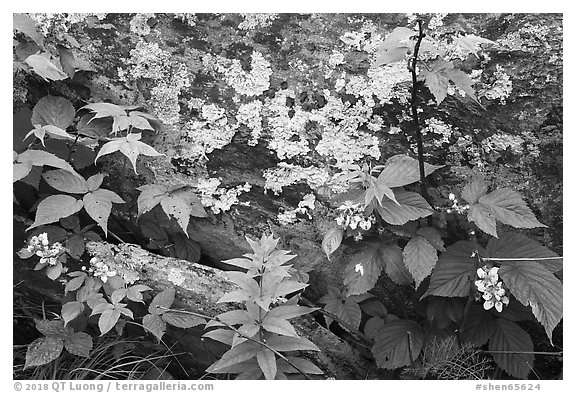 Flowers and lichen-covered rock. Shenandoah National Park (black and white)