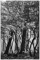 Mountain Laurel and twisted trunks in fog. Shenandoah National Park ( black and white)