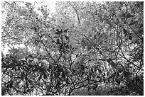 Looking up Mountain Laurel. Shenandoah National Park ( black and white)