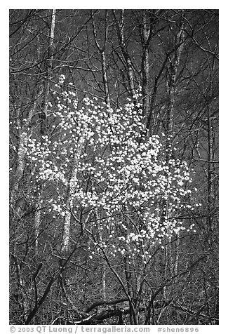 Tree blossoming  amidst bare trees. Shenandoah National Park (black and white)