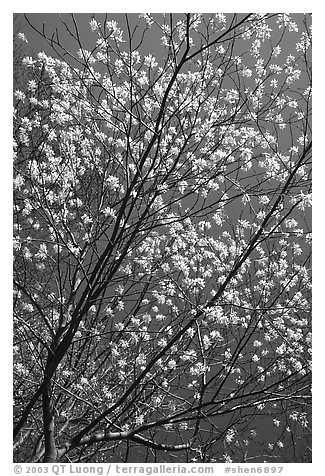 Blossoming tree against blue sky. Shenandoah National Park (black and white)