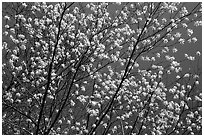 Tree branches covered with blossoms. Shenandoah National Park ( black and white)