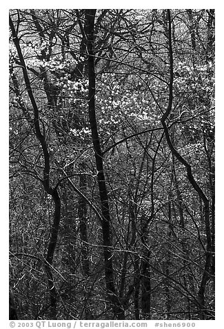 Twisted trunks and dogwood trees in forest. Shenandoah National Park, Virginia, USA.