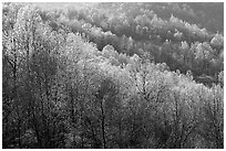 Trees in the spring, late afternoon, Hensley Hollow. Shenandoah National Park, Virginia, USA. (black and white)