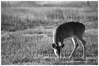 Whitetail Deer grazing in Big Meadows, early morning. Shenandoah National Park, Virginia, USA. (black and white)