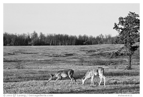 Whitetail Deer in Big Meadows, early morning. Shenandoah National Park (black and white)