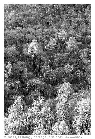 Trees with early foliage amongst bare trees on a hillside, morning. Shenandoah National Park (black and white)