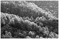 Backlit trees on hillside in spring, morning. Shenandoah National Park, Virginia, USA. (black and white)