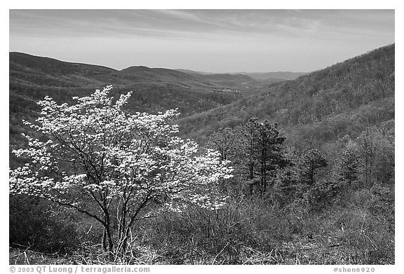 Tree in bloom and hills in early spring. Shenandoah National Park (black and white)