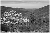Tree in bloom and hills in early spring. Shenandoah National Park ( black and white)