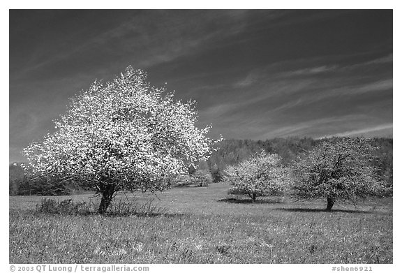 Trees in bloom in grassy meadow. Shenandoah National Park, Virginia, USA.