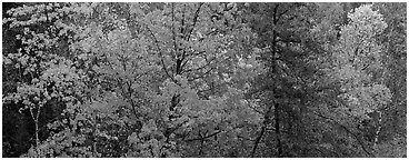Mixed tree forest in the fall. Voyageurs National Park (Panoramic black and white)