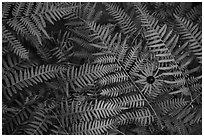 Close-up of sunflower and ferns. Voyageurs National Park ( black and white)