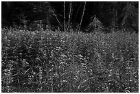 Wildflowers in meadow near Mica Bay. Voyageurs National Park ( black and white)
