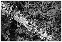 Fallen Birch trunk and ferns. Voyageurs National Park ( black and white)
