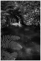 Ferns and cascade. Voyageurs National Park ( black and white)