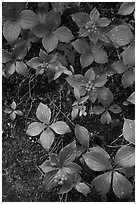 Close-up of red berries and leaves. Voyageurs National Park ( black and white)