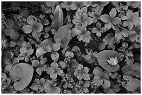 Close-up of summer leaves with fallen autumn leaf. Voyageurs National Park ( black and white)