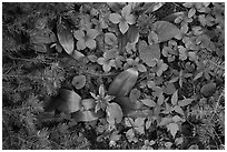 Close up of berries and summer leaves. Voyageurs National Park ( black and white)