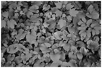 Close up of green undergrowth leaves. Voyageurs National Park ( black and white)