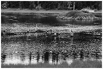 Tree stumps and beaver house. Voyageurs National Park ( black and white)