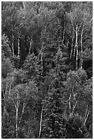 Birch trees in the summer. Voyageurs National Park ( black and white)