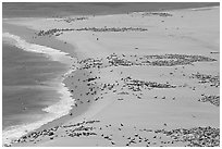 Sea lions and seals on  beach, Point Bennett, San Miguel Island. Channel Islands National Park, California, USA. (black and white)
