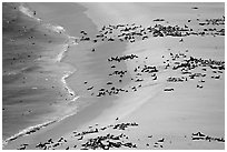 Seals and sea lions hauled out on  beach, San Miguel Island. Channel Islands National Park ( black and white)