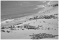 Pinnipeds hauled out on  beach, Point Bennet, San Miguel Island. Channel Islands National Park ( black and white)