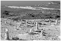 Ghost forest formed by caliche sand castings of plant roots and trunks, San Miguel Island. Channel Islands National Park ( black and white)