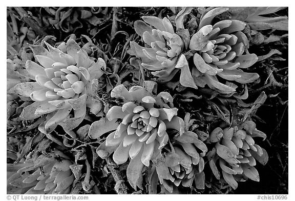 Live Forever (Dudleya) plants, San Miguel Island. Channel Islands National Park (black and white)