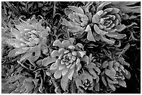 Live Forever (Dudleya) plants, San Miguel Island. Channel Islands National Park, California, USA. (black and white)