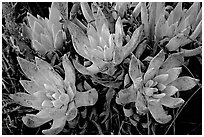 Sand Lettuce stonecrop plant, San Miguel Island. Channel Islands National Park, California, USA. (black and white)