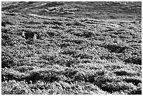 Seagulls and spring wildflowers, East Anacapa Island. Channel Islands National Park ( black and white)