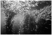 Kelp canopy beneath surface, Annacapa. Channel Islands National Park ( black and white)