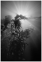 Underwater view of kelp plants with sun rays, Annacapa. Channel Islands National Park ( black and white)