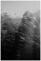 Macrocystis pyrifera (Giant Kelp), Annacapa  Marine reserve. Channel Islands National Park ( black and white)