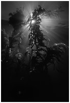 Underwater view of kelp fronds with sun beams. Channel Islands National Park ( black and white)
