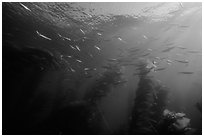 Jack mackerel school of fish in kelp forest. Channel Islands National Park ( black and white)