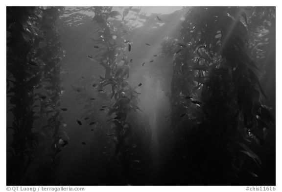Giant Kelp underwater forest. Channel Islands National Park (black and white)