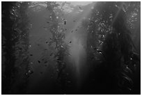 Giant Kelp underwater forest. Channel Islands National Park ( black and white)