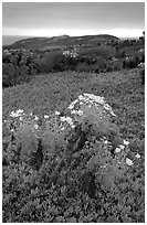 Giant Coreopsis and ice plant. Channel Islands National Park ( black and white)