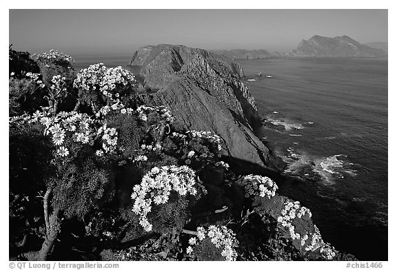 Coreopsis and island chain from Inspiration Point, morning, Anacapa. Channel Islands National Park (black and white)