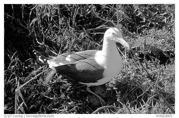 Western seagull. Channel Islands National Park, California, USA.