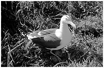 Western seagull. Channel Islands National Park ( black and white)