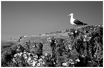 Western seagull on giant coreopsis. Channel Islands National Park ( black and white)
