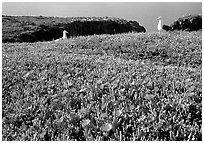 Western seagus and ice plants. Channel Islands National Park ( black and white)